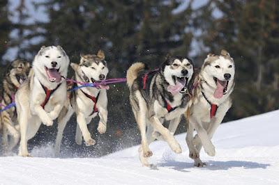 Siberian Huskies in a Sled Race