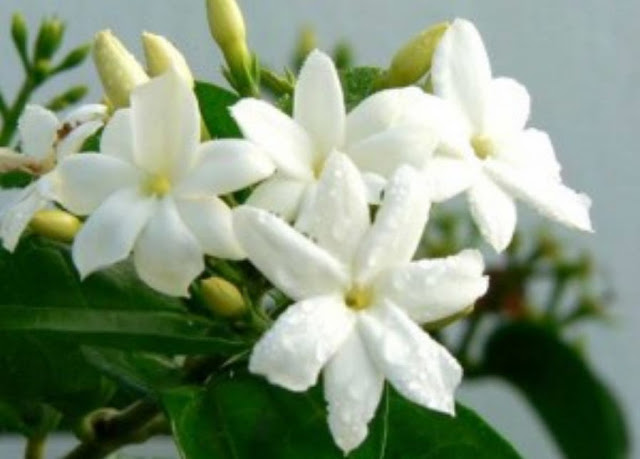 GALERY Beautiful Jasmine flowers PICTURE wedding