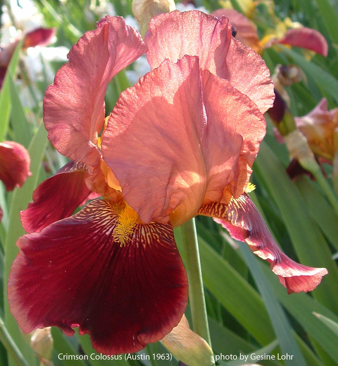 World of Irises: March 2017