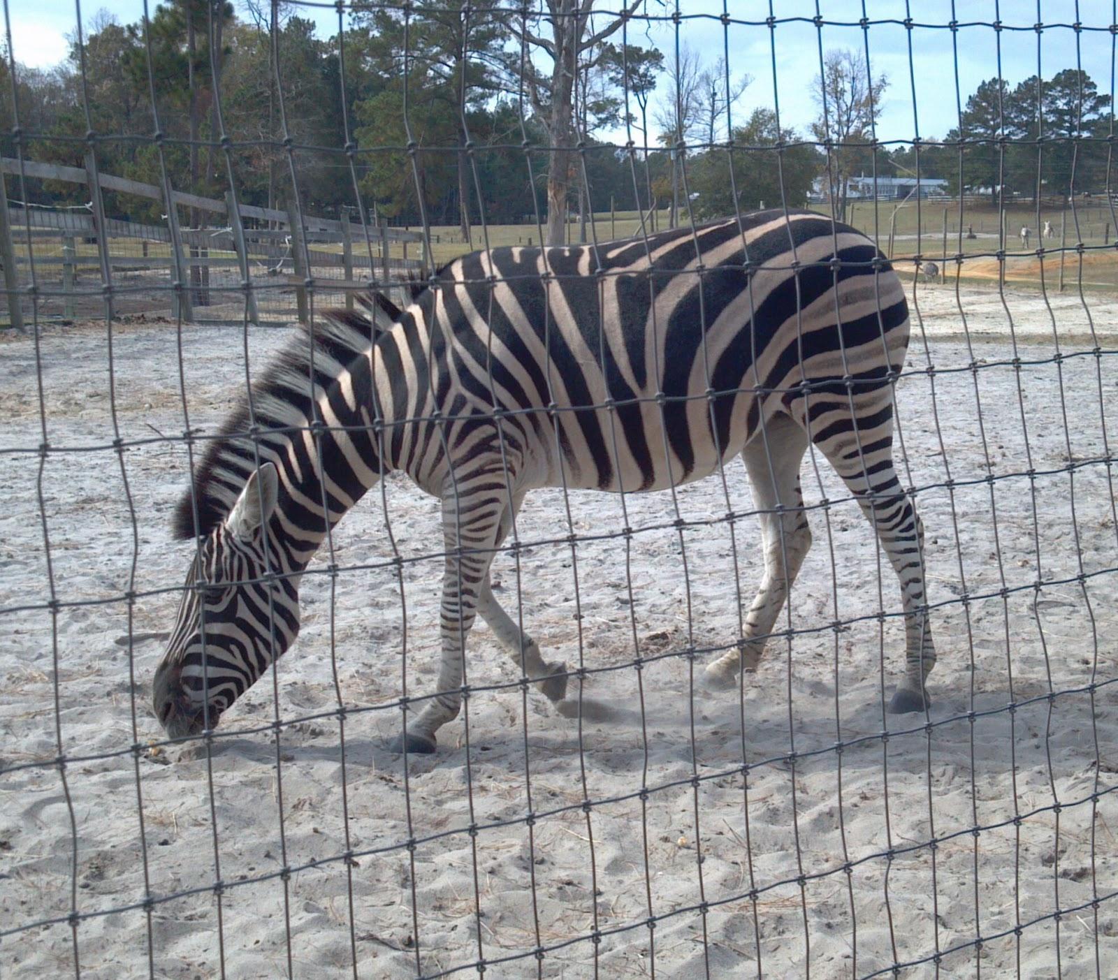 Zebra without stripes real - photo#48