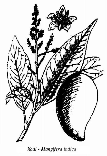Hình vẽ Xoài - Mangifera indica - Nguyên liệu làm thuốc Chữa bệnh Mắt Tai Răng Họng