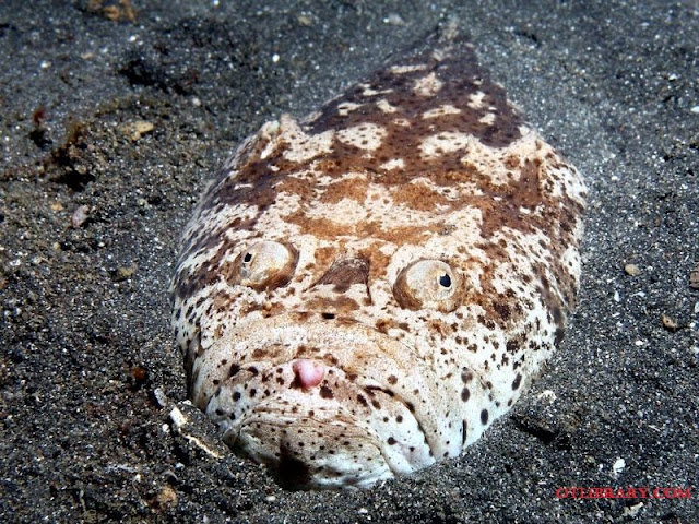 Stargazer Fish Adalah Jenis Ikan Laut Dalam Paling Menyeramkan, Predator Dan Unik