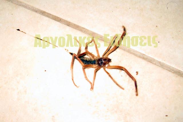 Η επικίνδυνη αράχνη Camel Spider εντοπίστηκε στο Ναύπλιο