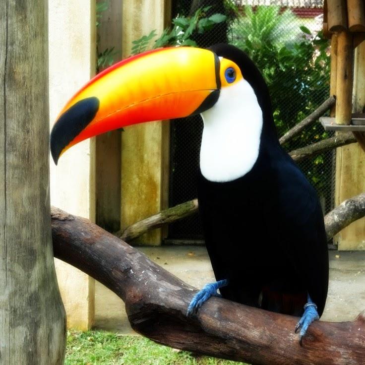 Tucano, um dos animais do mini-zoológico, do Beto Carrero World, em Penha