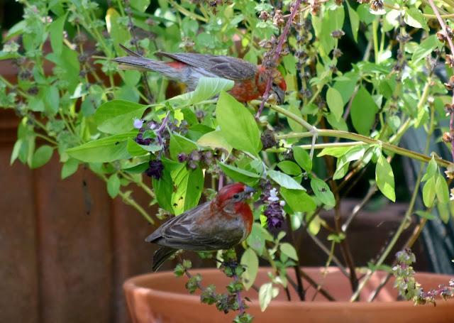 House Finches on Thai basil