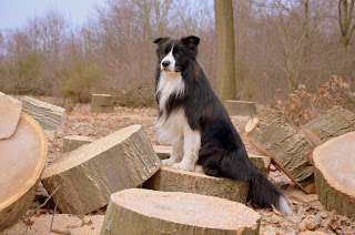 Border-collie-dog