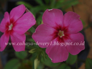 Growing phlox from seeds in tropics