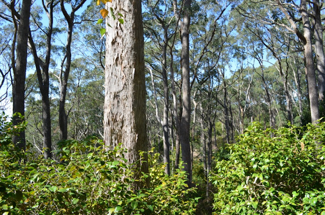 Small green shrubs in the foreground with vertical trunks of a native bushland behind.