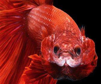 Ikan Cupang, Ikan kuat dengan Emosi tinggi