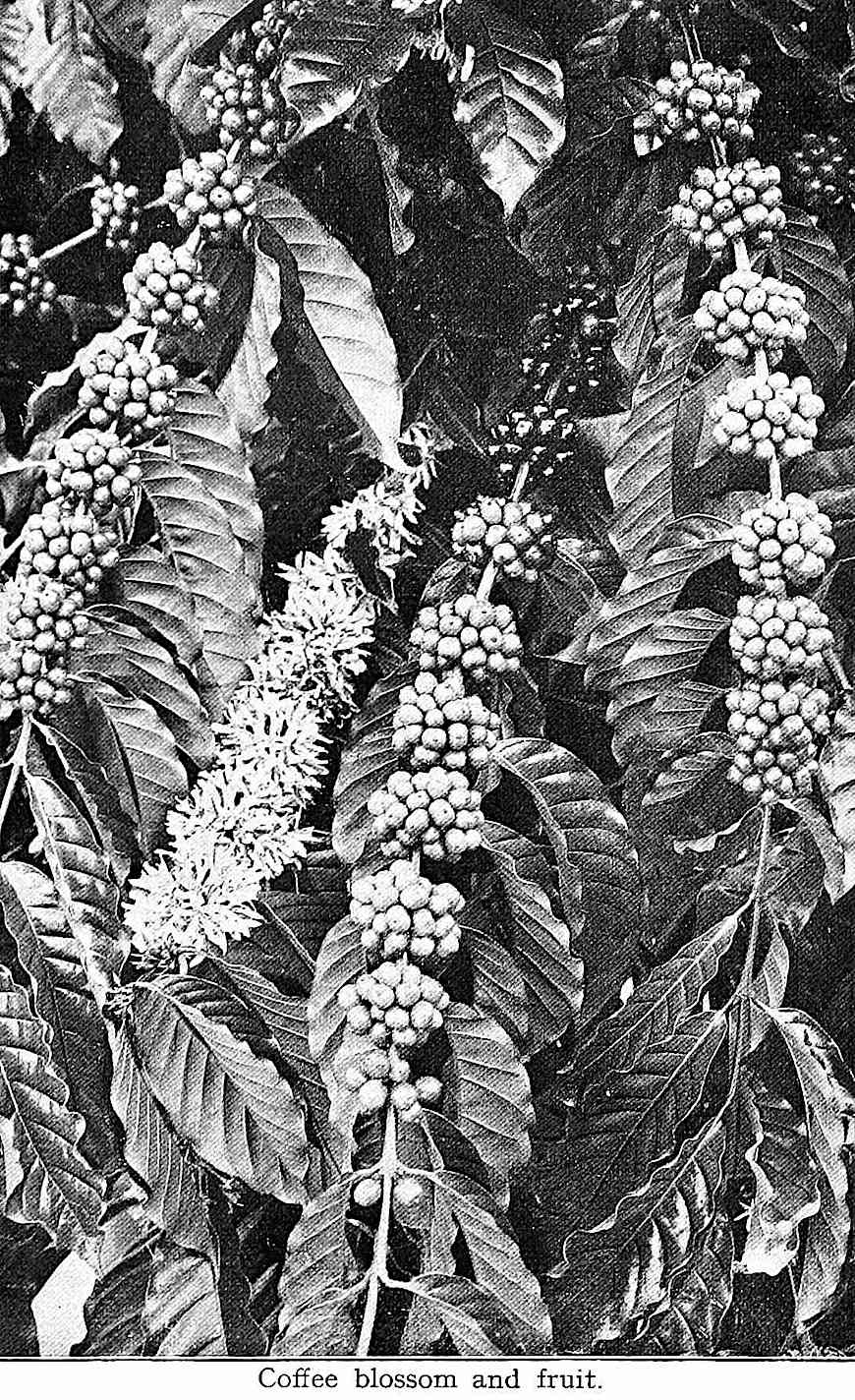 Coffee blossom and fruit, a 1922 photograph