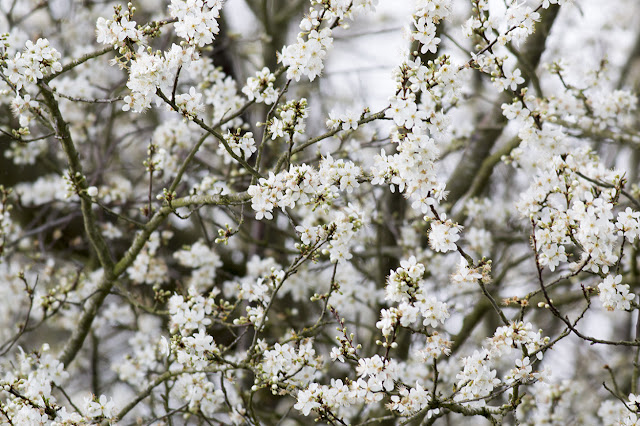 Blackthorn Blossom on 2nd Feb!