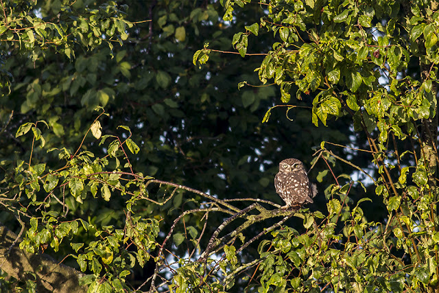 Little Owl in a Natural Frame