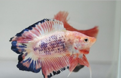 Picture Betta splendens Atjeh Double Tail