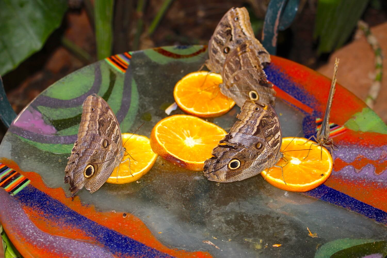 bio centro igauzu butterfly