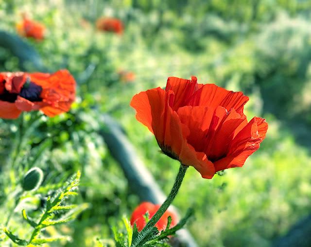 Orange Wild Poppy