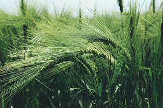 barley grass contained high level of vitamins, minerals, enzymes