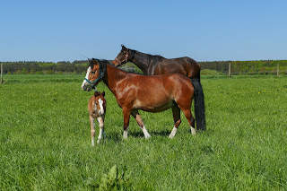 Two adult horses in a big field with a bay foal with while markings standing nearby