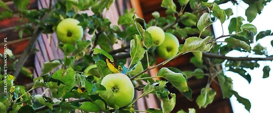 stara jabłoń ogród wiejski
