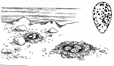 nido de Gaviota cocinera Larus dominicanus