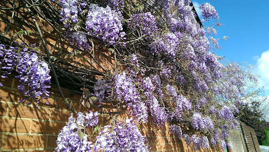Wisteria - The importance of pruning