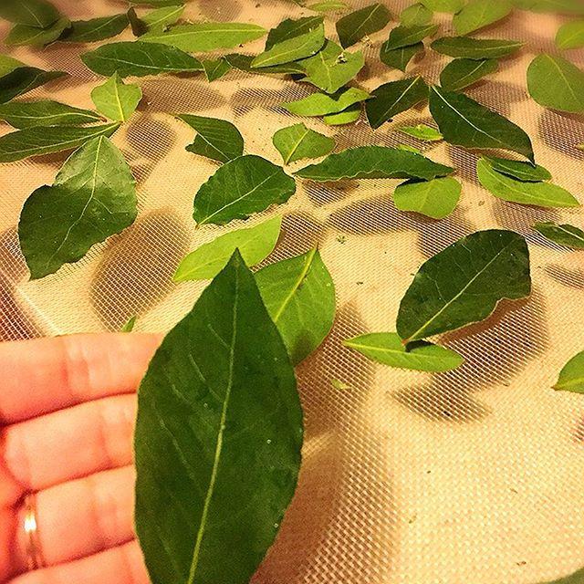 Khasiat daun salam untuk mengobati asam urat