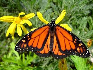 Basicamente, são esses os principais pontos que diferenciam borboletas e mariposas.  Todavia, vale ressaltar que, nem sempre as diferenças apresentam-se de forma muito evidente ou em destaque. E há ainda as exceções comportamentais.