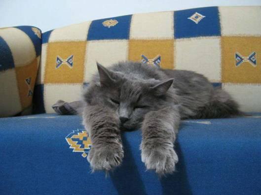 gatos-cardiomiopatía-hipertrófica-causas-cuidados