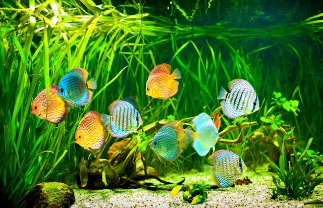 Tips Memelihara Ikan Discus dalam Aquascape