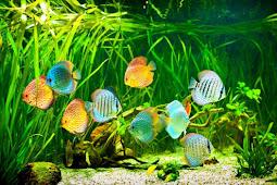 Tips Memelihara Ikan Discus dalam Aquascape yang Baik & Benar