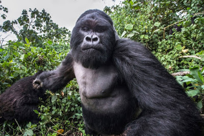 This drunken mountain gorilla is named Akarevuro. He weighs about 550 pounds.