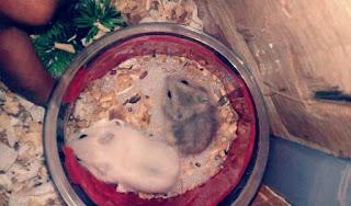 Tanda Tanda Hamster  Hamil