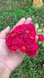 hoa hong red fairy