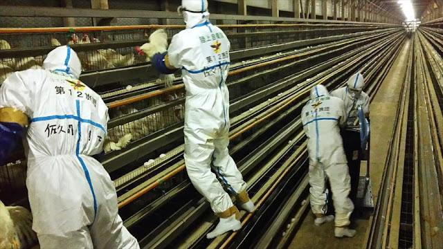Japón sacrifica 210.000 aves de corral por el brote de gripe aviar