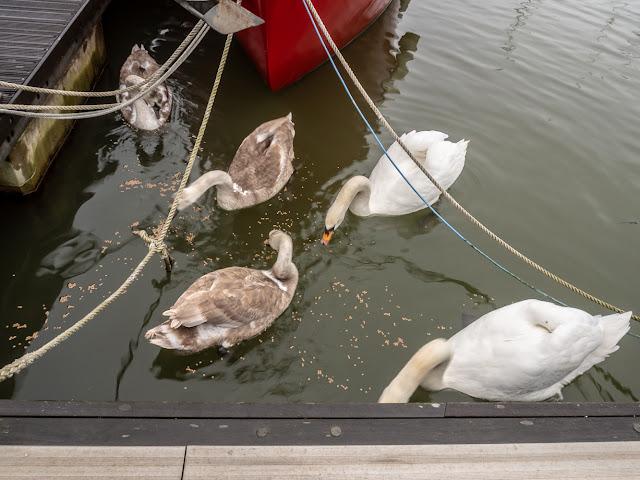 Photo of the swan family feeding near Ravensdale