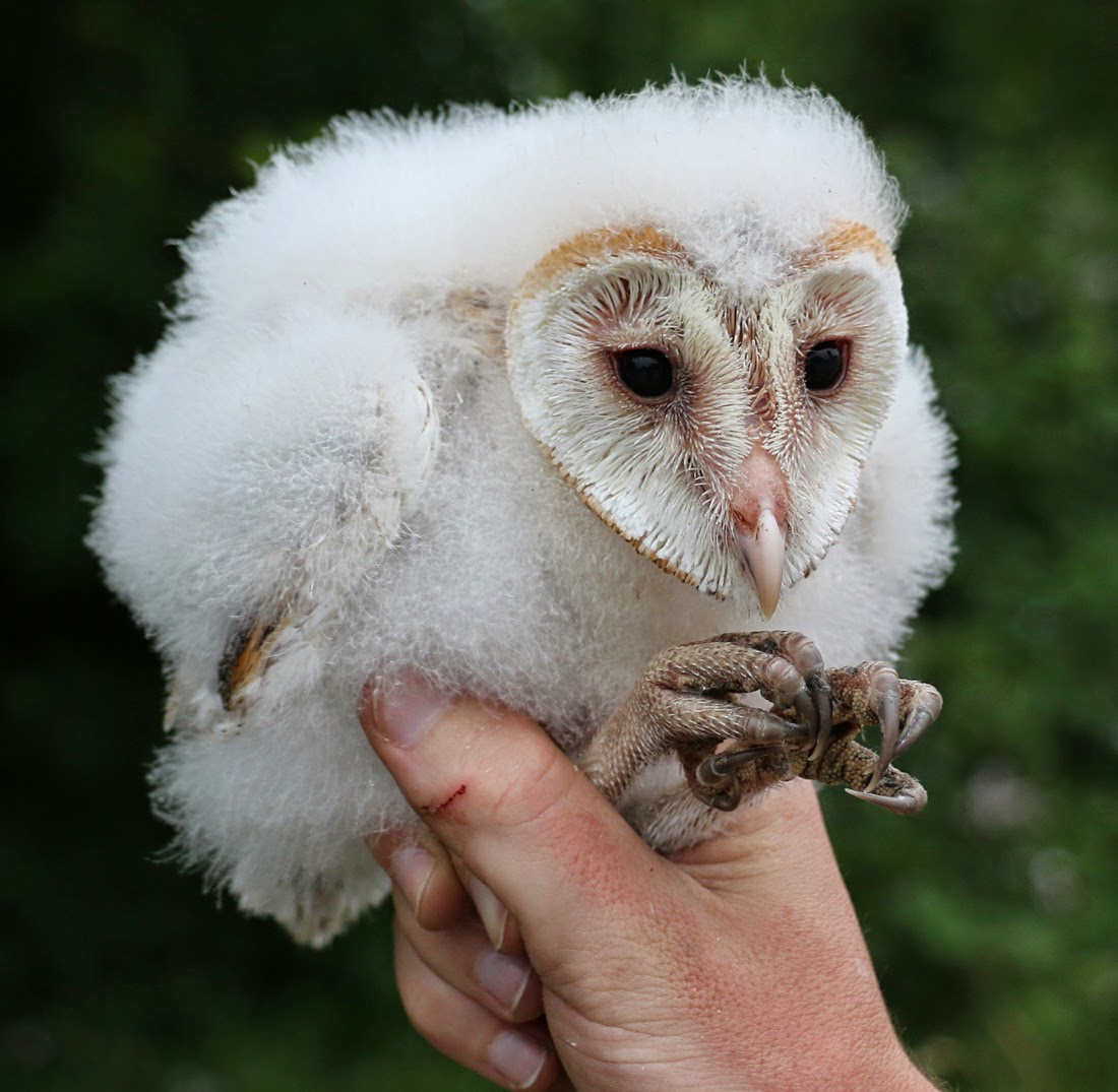 Duhallow Raptor Conservation Project: Barn Owl ringing ...