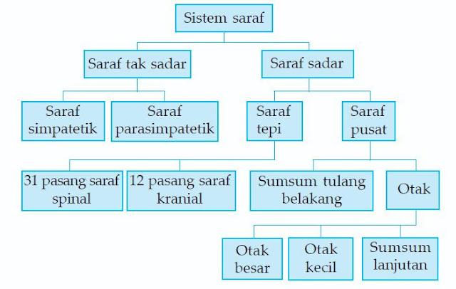 Susunan Sistem Saraf Pusat dan Saraf Tepi
