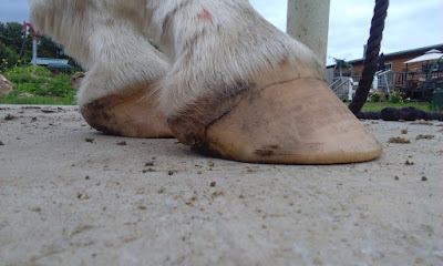hooves trigger muscle disorder, n/P1 symptomatic forward foot syndrome, bad hooves trigger pssm horse