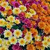 Cara Menanam Bunga Krisan Yang Benar - Bunga Krisan (Chrysanthemum sp)