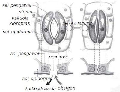 Membuka menutupnya stomata merupakan nasti kompleks