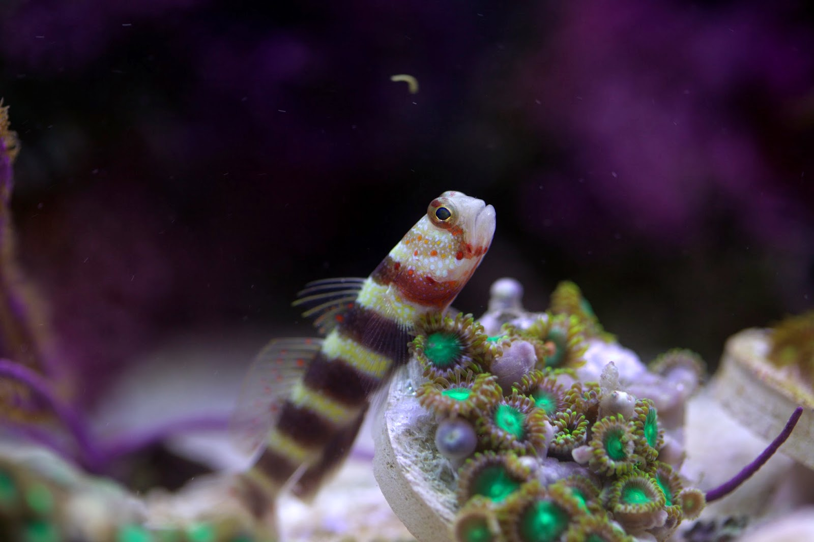Nano Fish Small Size Big Personalities Marine Depot Blog