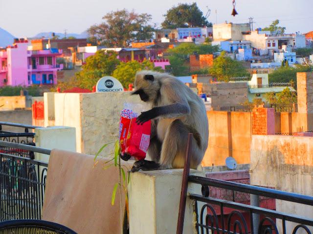 małpy, Indie, Pushkar