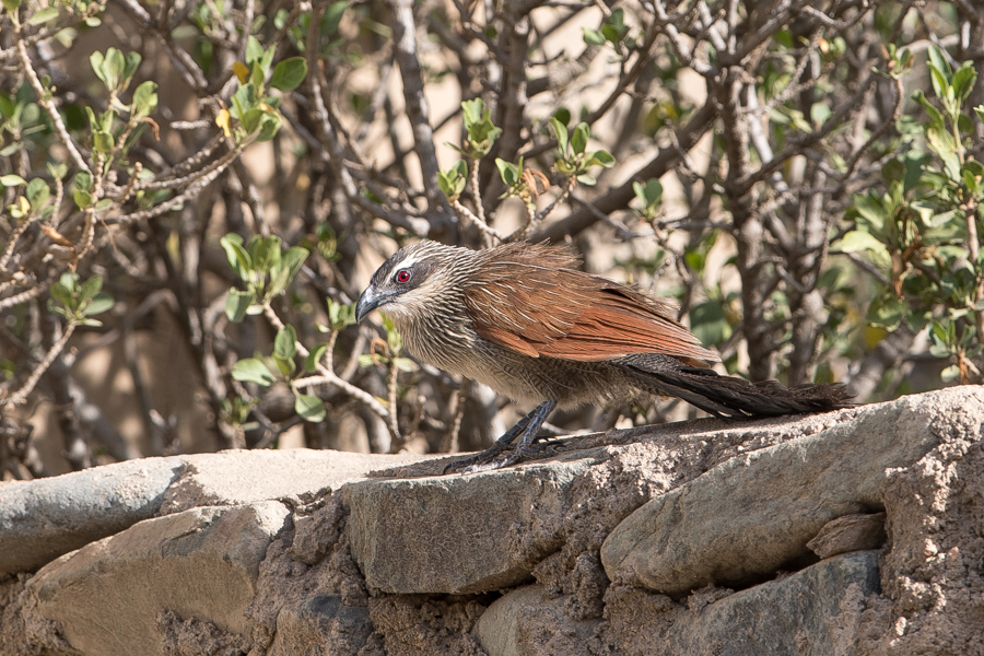 White-browed Coucal – Raydah Escarpment