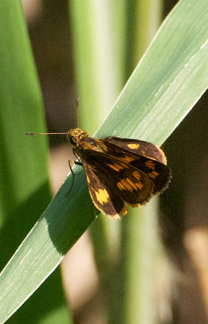 Lesser Dart (Potanthus omaha omaha)