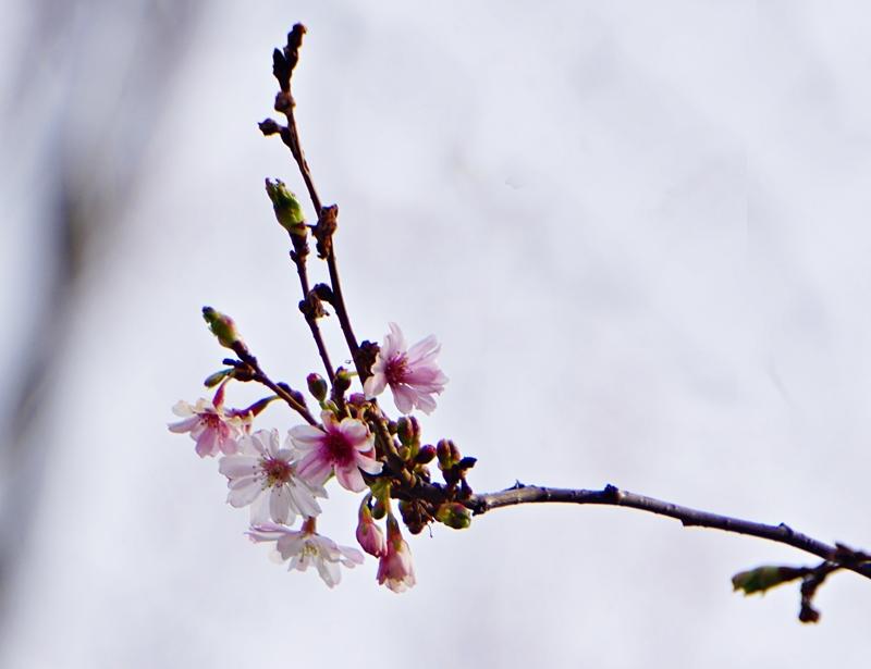 kevät, kirsikkapuu