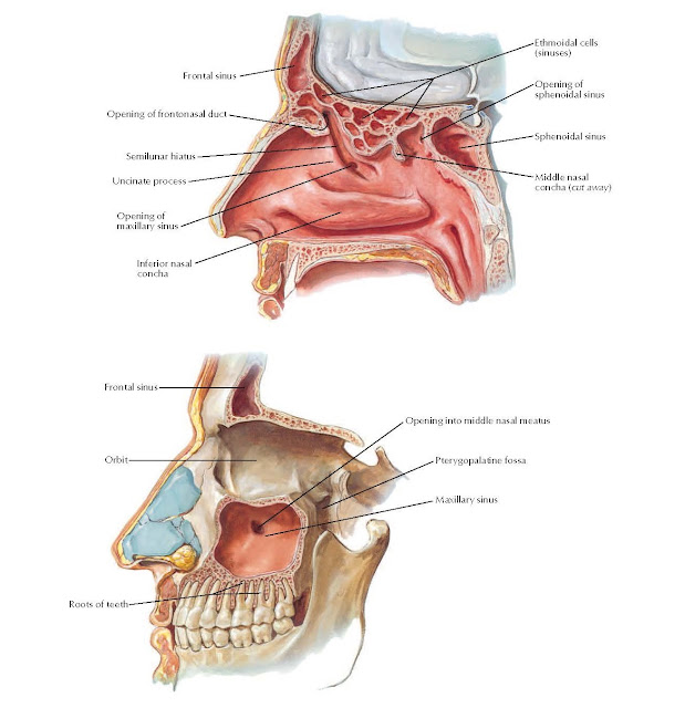 Paranasal Sinuses: Parasagittal Views ANATOMY