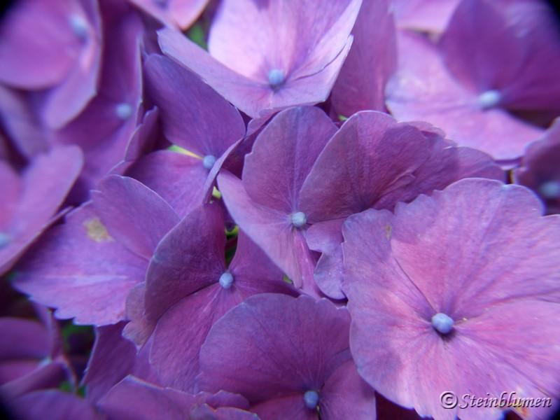 blaue Hortensien