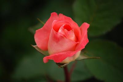 Hoa hồng đẹp nhất thế giới tặng người yêu