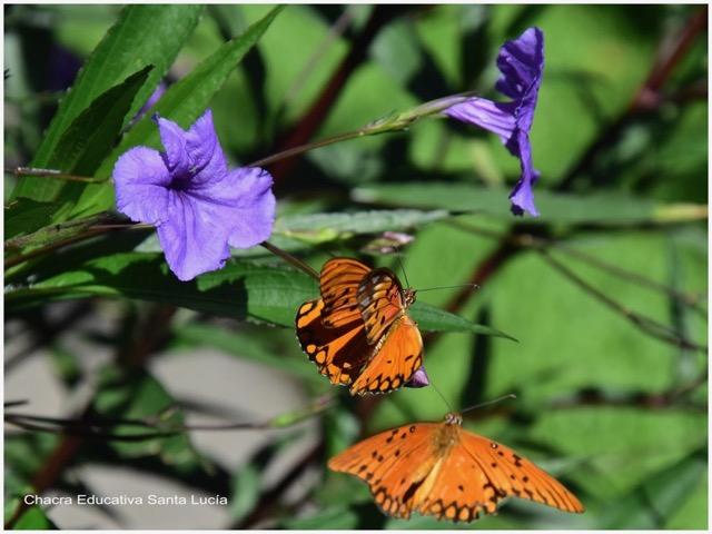 Cortejo de mariposa espejito - Marcos L para Chacra Educativa St. Lucía