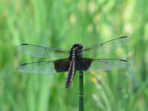 female widow skimmer dragonfly