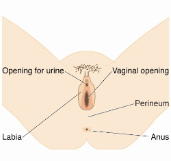 During The Birthing And Crowning Phase Of Labour This Section Of Muscle Is Stretched To Allow The Babys Head Through Your Perineum With The Correct